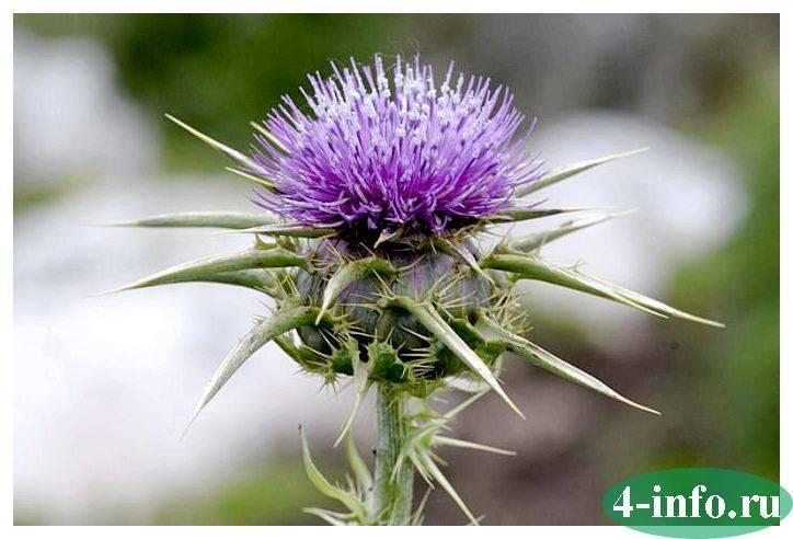 Трава костер: описание, свойства и применение