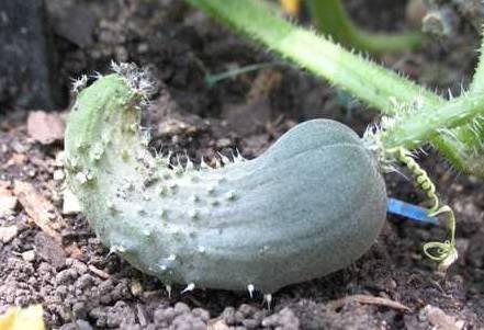 Огурцы растут крючком или как бутылочки: почему и что с этим делать?