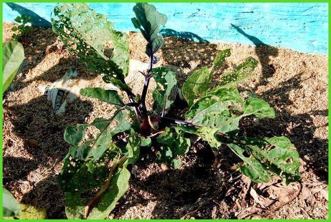 Болезни баклажанов и уход в открытом грунте