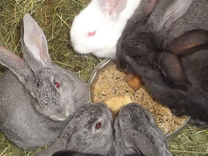 Возможно ли выкормить крольчат без крольчихи?