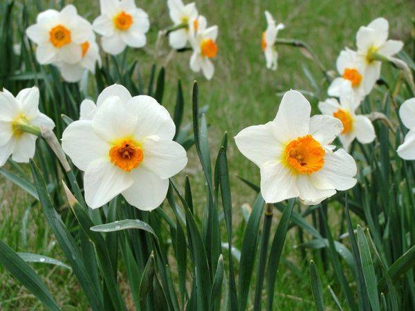Нарциссы: сорта с фото и названиями