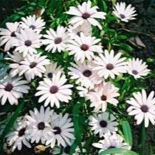 Африканские ромашки — гацания: выращивание яркого цветка без проблем. как можно вырастить гацанию из семян и черенков