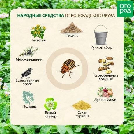Как избавиться от колорадского жука народными средствами?