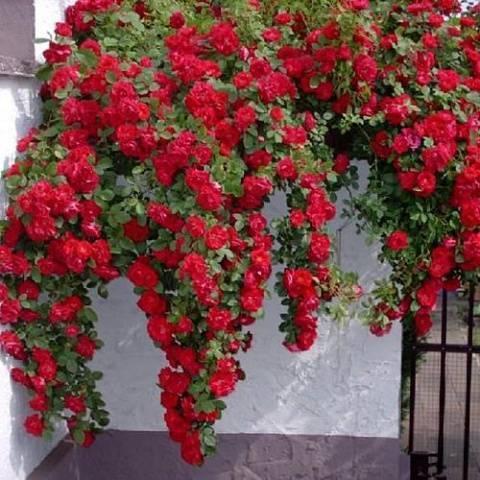 Основные причины того, почему не цветут комнатные розы