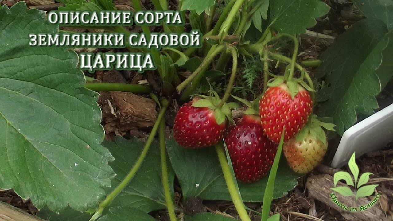 О сорте земляники купчиха: описание, особенности выращивания, как ухаживать