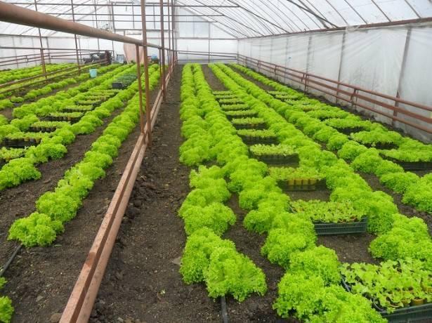 Салат айсберг выращивание из семян