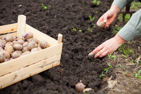 Когда сажать картофель в 2019 году по лунному календарю?