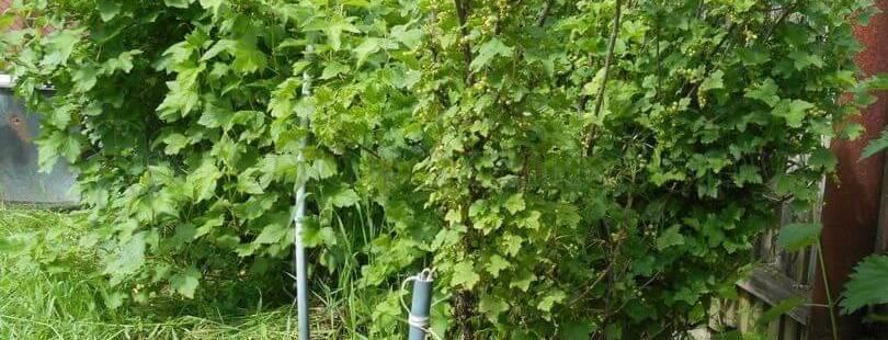 Как подвязать смородину: простая инструкция как и чем подвязать смородиновый куст в саду (80 фото и видео)
