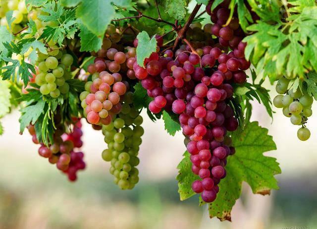 Виноград когда начинает плодоносить. время начала плодоношения укустарников