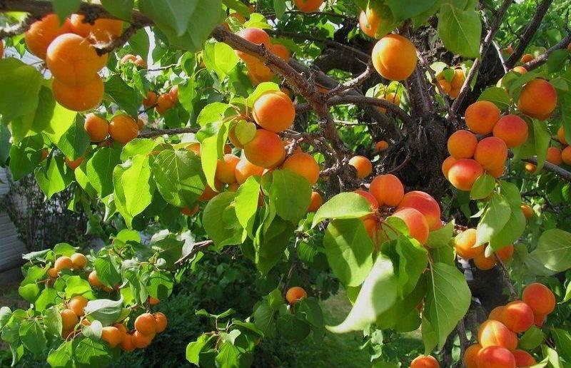 Болезни абрикосов и их лечение: 9 опасных заболеваний, народные методы лечения