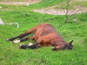 Тихий час для лошадки – как она спит?