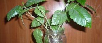 Гибискус (китайская роза): описание и уход, посадка, размножение, отзывы и фото