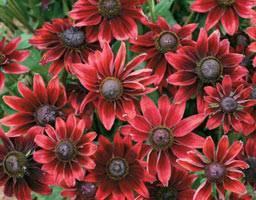 Цветы рудбекия многолетняя: фото и описание сортов и видов рудбекии