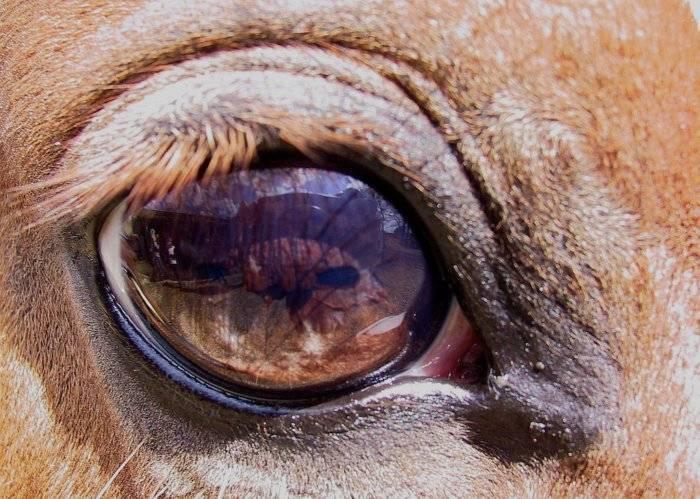 У телят болеть глаза