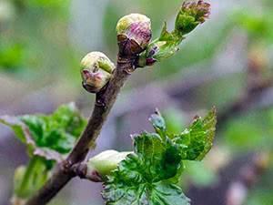 Смородиновый почковый клещ: симптомы заражения растения и методы борьбы с вредителем