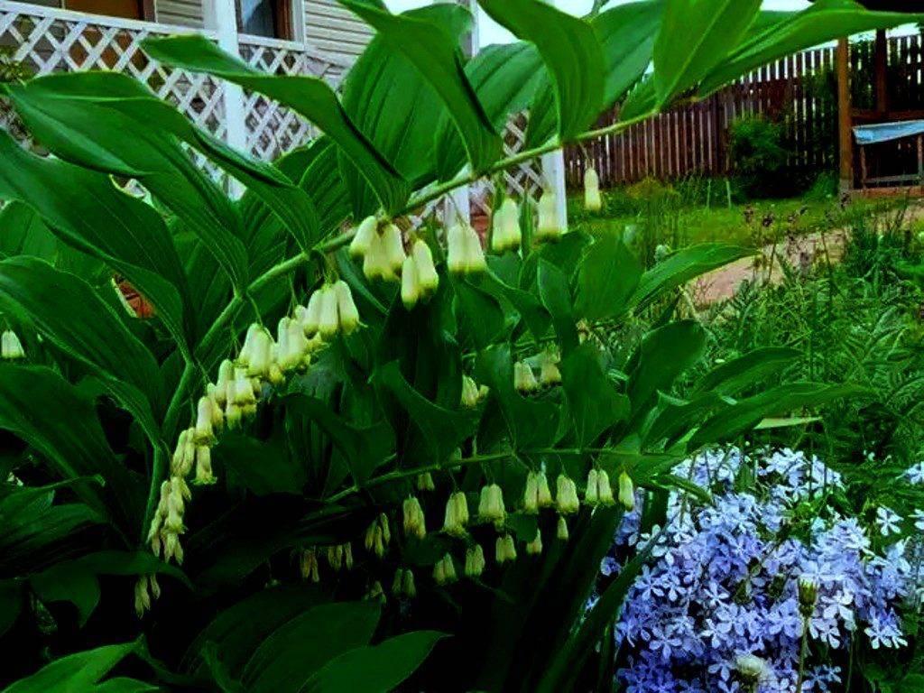 Купена: фото и описание цветка, посадка и уход за купеной в открытом грунте