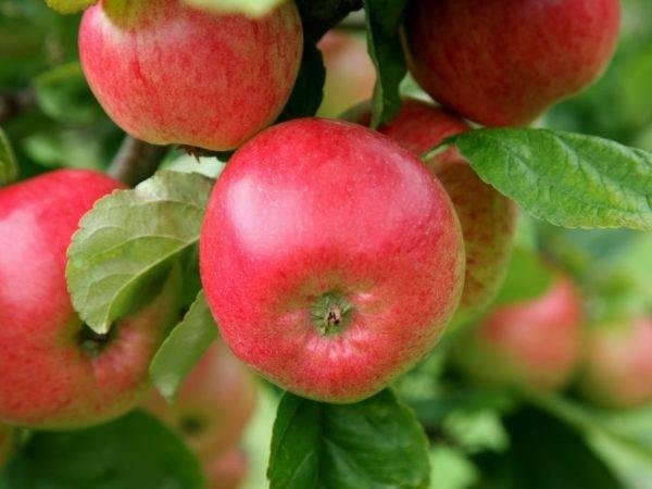 Лучшие сорта яблони для ленинградской области. обзор сортов груши для северо-западного региона россии перечень фруктовых деревьев и кустарников