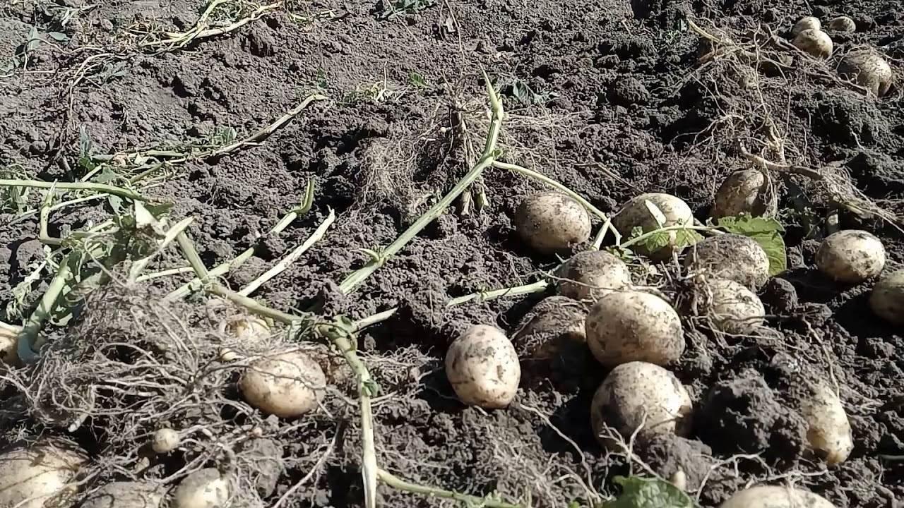Сорт картофеля уладар: описание сорта, полезные свойства, отзывы