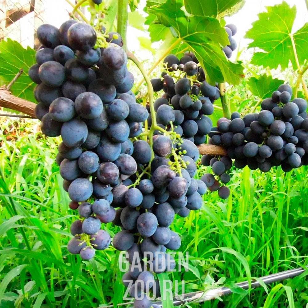 Виноград сфинкс: подробное описание сорта