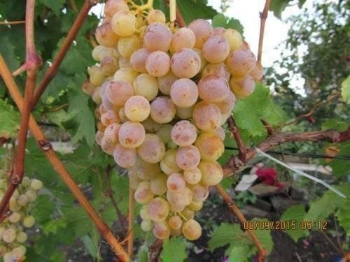 Девичий виноград: характеристика и описание сорта, отзывы