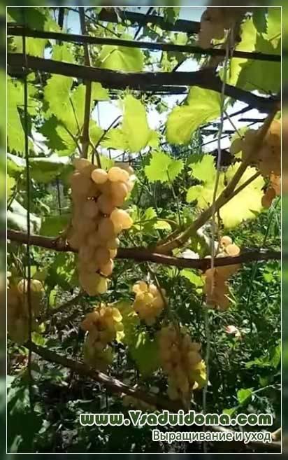 Описание и характеристики винограда сорта плевен. отзывы садоводов