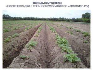 На какой день всходит картофель после посадки