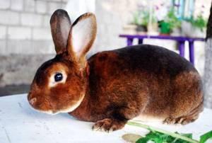 Декоративные породы кроликов (35 фото): виды, их названия и описание. как определить породу кролика?