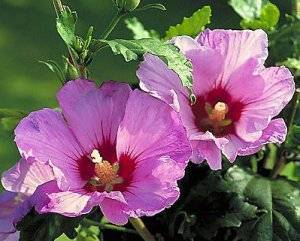 Украшение любой клумбы – гибискус арденс. практические рекомендации по выращиванию и уходу за кустарником