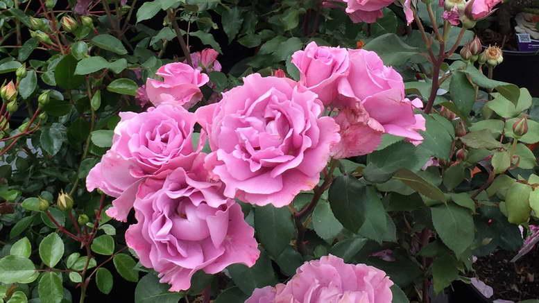 Чем подкормить розы в августе - секреты выращивание цветов на участке