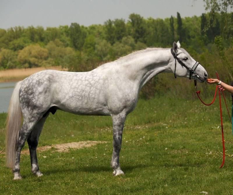 Орловская порода лошадей: история, описание и особенности коней
