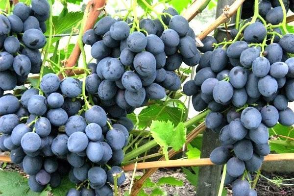 Урожайный раннеспелый виноград сфинкс: достоинства и недостатки