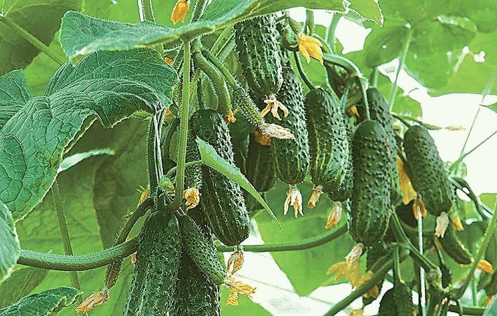 Гибрид огурцов «таганай f1»: фото, видео, описание, посадка, характеристика, урожайность, отзывы