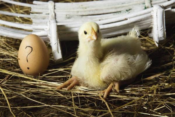 Разведение кур, как бизнес: выгодно или нет, как заработать на птицеводстве