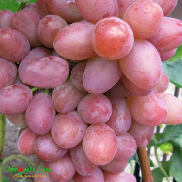 Виноград софия — ягоды грибы