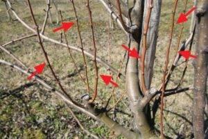 Советы по обрезке плодовых деревьев