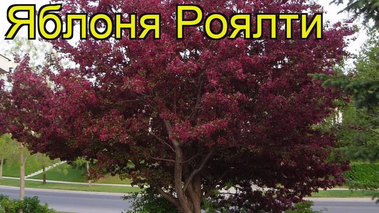 Особенности посадки и ухода за декоративной яблоней сорта роялти