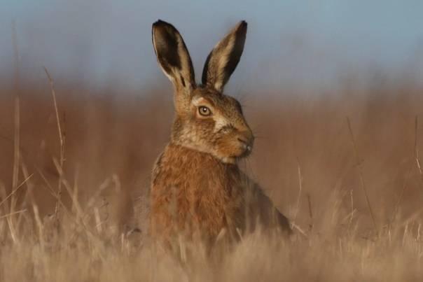 Чем заяц отличается от кролика? 24 фото как отличить внешне? кто больше? таблица отличий по признакам, разница в весе между дикими и домашними животными