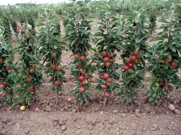 Особенности посадки и ухода за яблоней макинтош