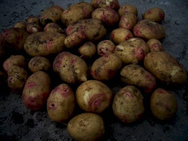 Сорт картофеля «пикассо»: характеристика, описание, урожайность, отзывы и фото