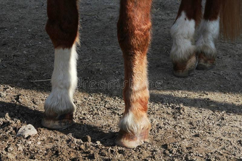 Копыта - строение копыта лошади