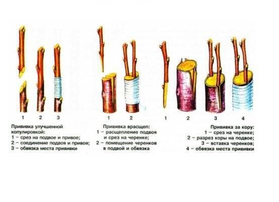Зимняя, или настольная, прививка саженцев