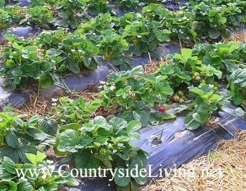 Технология выращивания клубники в теплице круглый год