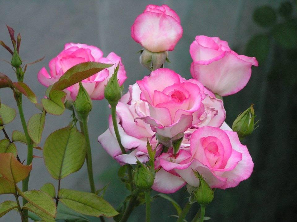 Плетистые розы цветущие все лето сорта зимостойкие | красивый дом и сад