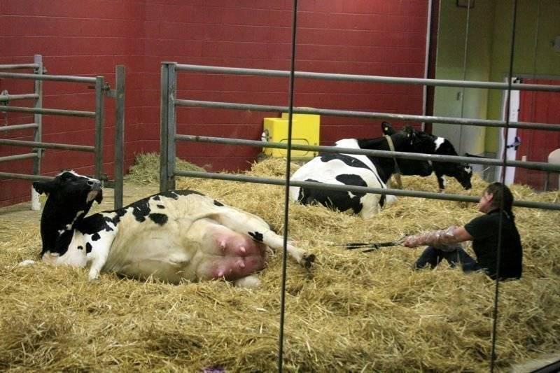 Послеродовой парез у крупнорогатого скота: причины появления заболевания, методики лечения