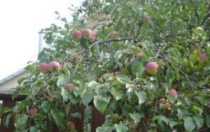 О яблоне Боровинка: описание и характеристики сорта, посадка и уход