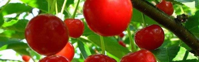 Лучшие сорта вишни для подмосковья с описанием и фото