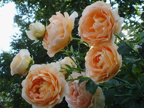 Плетистая роза полька: фото, описание, отзывы