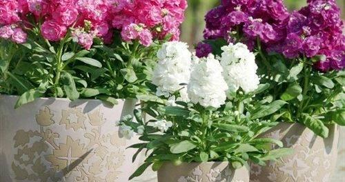 Маттиола – выращивание из семян