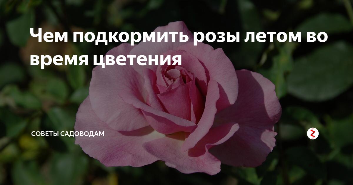 Подкормка роз для обильного цветения, какие удобрения лучше?