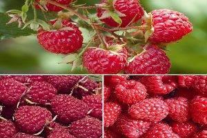 Кусты малины: посадка и уход, фото, выращивание, полив, обрезка, пересадка и размножение